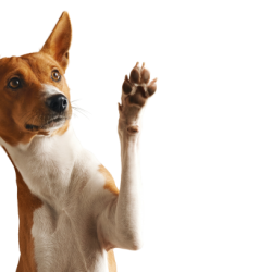 adorable-brown-white-basenji-dog-smiling-giving-high-five-isolated-white-removebg-preview