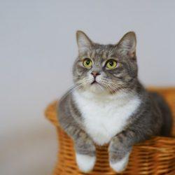 שונות חתולים